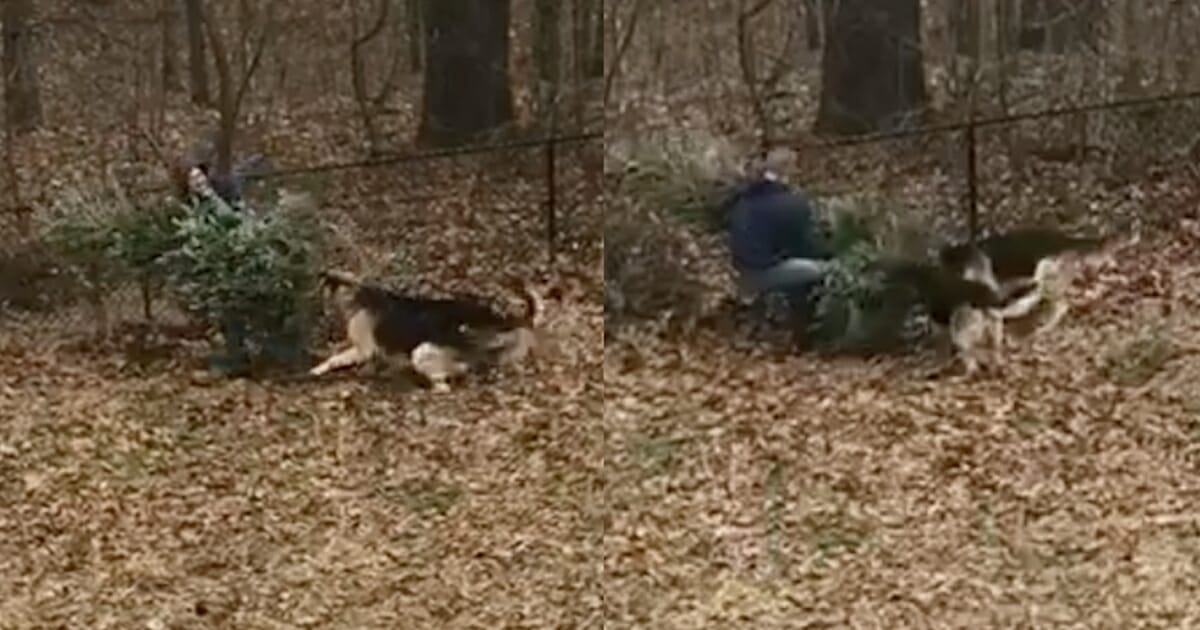 When Dad Tries To Trash Christmas Tree, His Dogs Have