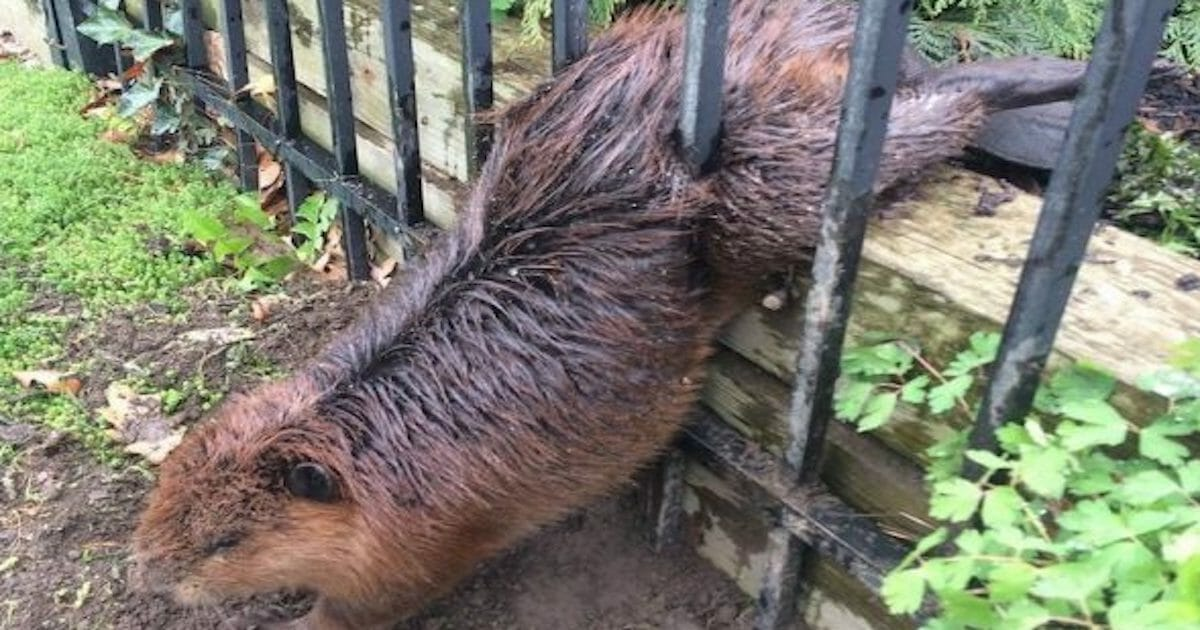 A Fat Beaver Got Stuck In A Fence  Luckily Rescuers Had